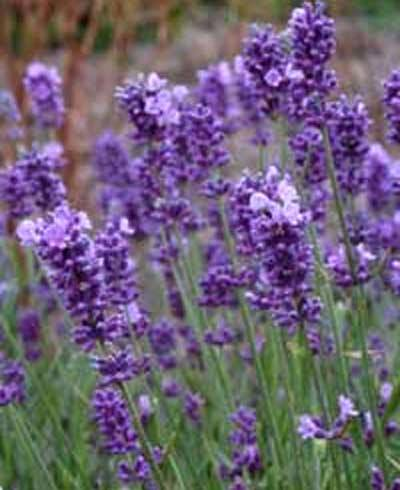Lavender Plants Keep Cats Away